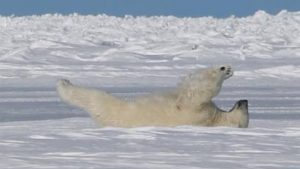 Trump Racing Forward With Leases for Arctic Wildlife Drilling