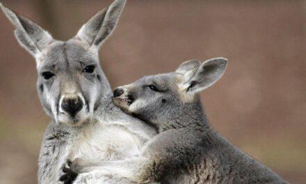 Who Doesn't Love the Kangaroo?